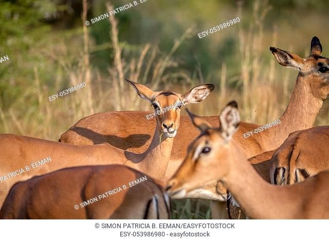 Female Impala in a herd stares at the camera in the Pilanesberg National Park, South Africa