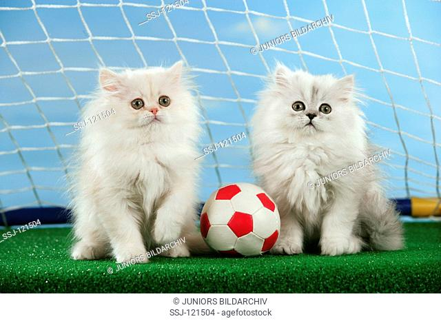 world championship of soccer : two young Persian cats with ball - in goal
