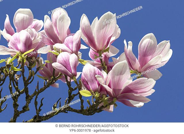 magnolia in flower, Trier, Rhineland-Palatinate, Germany