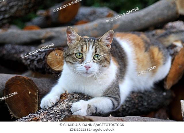 A calico cat sharpening her claws on a log of firewood and looking at camera