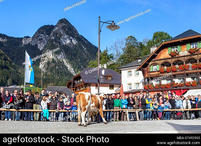Aufkranzen', adornment of the cows after arrival in Schönau, cattle drive ('Almabtrieb') at Königssee, Saletalm (owned by the Resch family)
