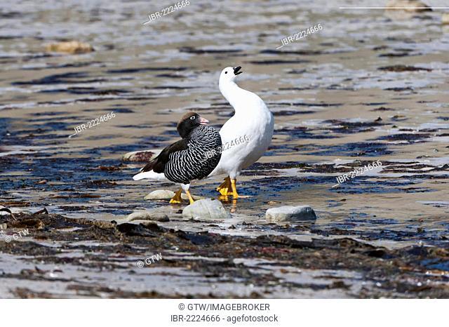 Kelp Geese (Chloephaga hybrida), male and female, walking on the shore, New Island, Falkland Islands, South America