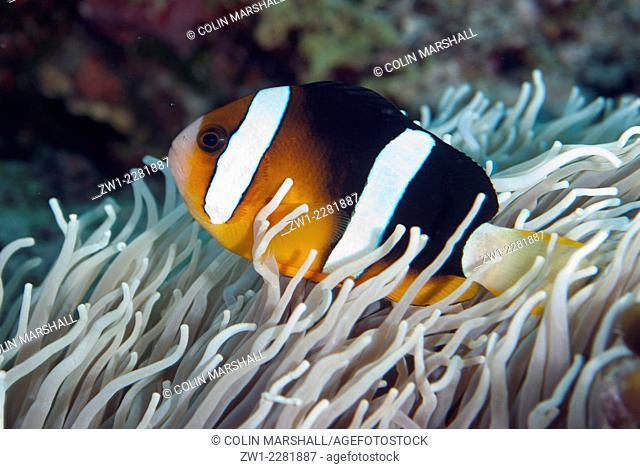 Clark's Anemonefish (Amphiprion clarkii), Tanjung Burang dive site, Bandanaira, Banda Sea, Moluccas, Indonesia