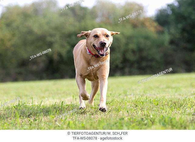 running Labrador Retriever