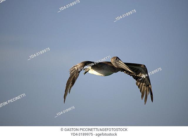 The brown pelican (Pelecanus occidentalis), Siesta Key, Sarasota, Florida, USA