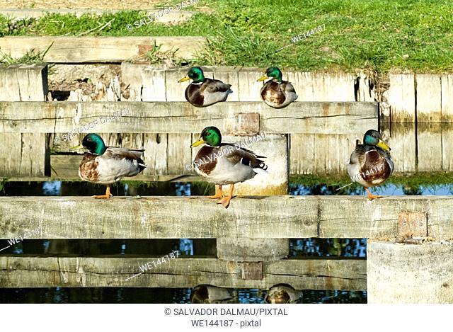 set of mallards at dawn, location lake banyoles, girona, catalonia, spain,