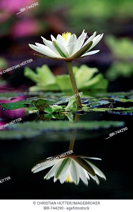 Tiger Lotus, Egyptian White Waterlily (Nymphaea lotus) reflected in the water's surface