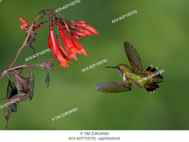 Female Volcano Hummingbird (Selasphorus flammula) San Gerrardo de Dota, Costa Rica