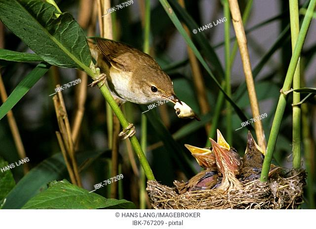 Reed Warbler (Acrocephalus scirpaceus), family Sylviidae, removing feces from nest