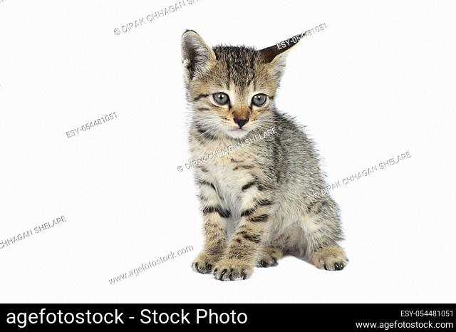 Gray striped Kitten on a white background, Small predator,