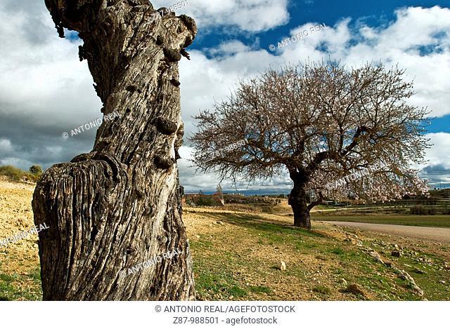 Almond trees, Almansa. Albacete province, Castilla-La Mancha, Spain
