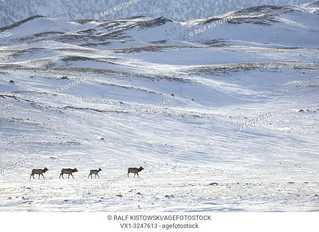 Elks / Wapitis ( Cervus canadensis ) in winter, three cows with a calf, walking, migrating through snow covered countryside, Yellowstone NP, Wyoming,USA