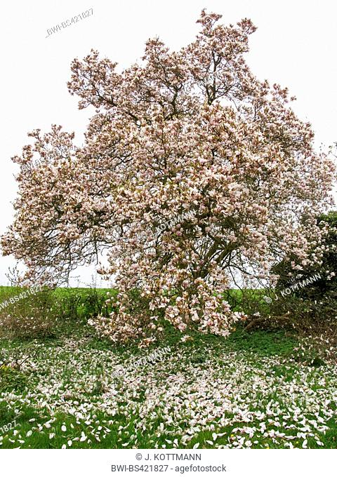 saucer magnolia (Magnolia x soulangiana, Magnolia soulangiana, Magnolia x soulangeana, Magnolia soulangeana), magnolia after sudden frost, Germany