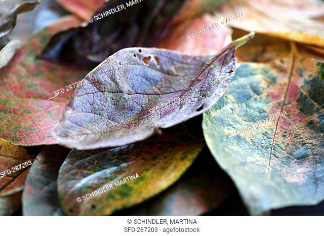 Persimmon leaves with autumn tints