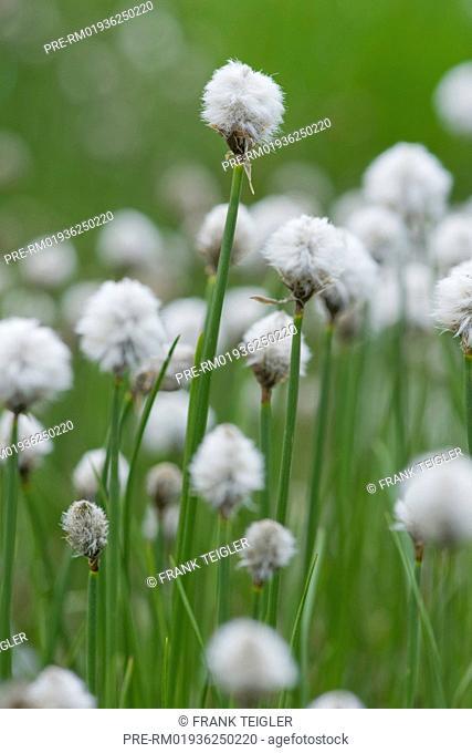 Scheuchzer's cottongrass, Eriophorum scheuchzeri / Scheuchzers Wollgras, Eriophorum scheuchzeri