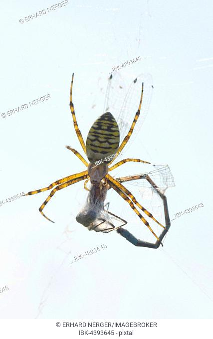Wasp spider (Argiope bruennichi) with captured dragonfly, Lower Saxony, Germany