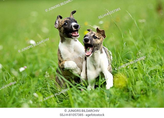English Whippet. Two puppies playing on a meadow. Germany