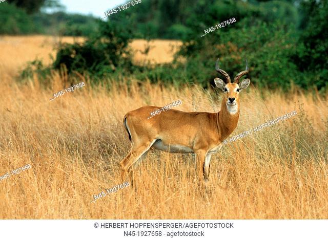 Uganda Kob; Kobus kob thomasi; Male; Murchison Falls NP; Wildlife; Uganda