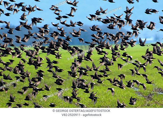 Starling flock in flight, Linn County, Oregon
