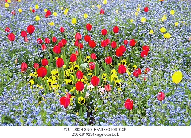 Colorful flowerbed of tulips and pansies