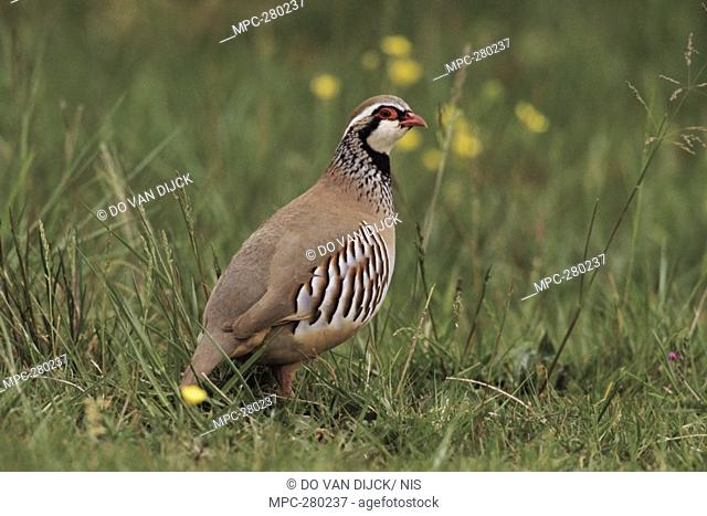 Partridge Brahma, Stock Photo, Picture And Rights Managed