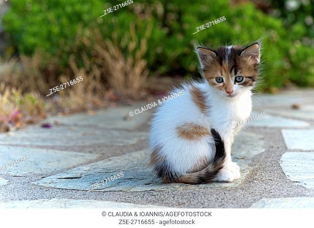 Six weeks old calico kitten sitting in the garden