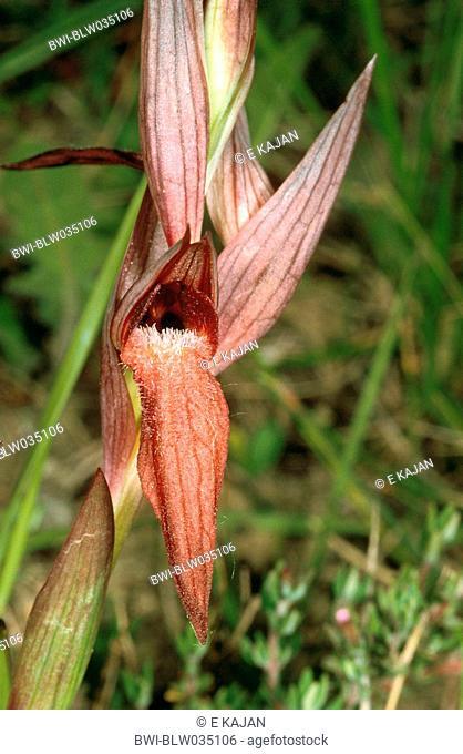 orchid Serapias strictiflora, flower, Portugal, Algarve
