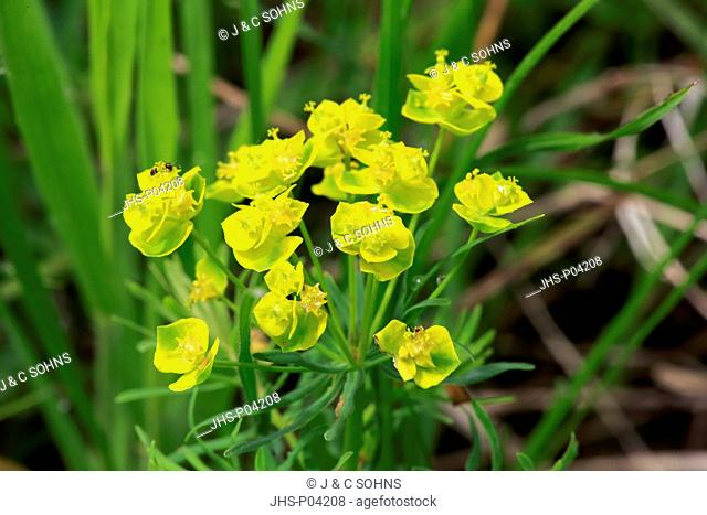 Euphorbia cyparissias, (Euphorbia cyparissias), blooming, Ellerstadt, Germany, Europe