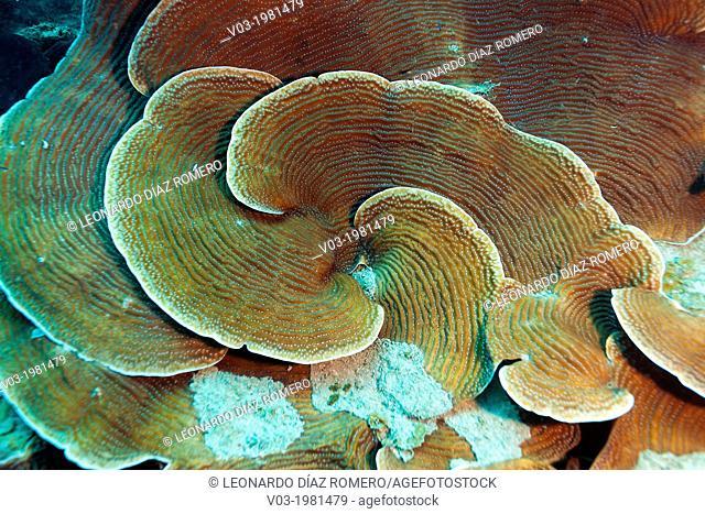 Scroll Corals at Veracruz coral reefs, Mexico