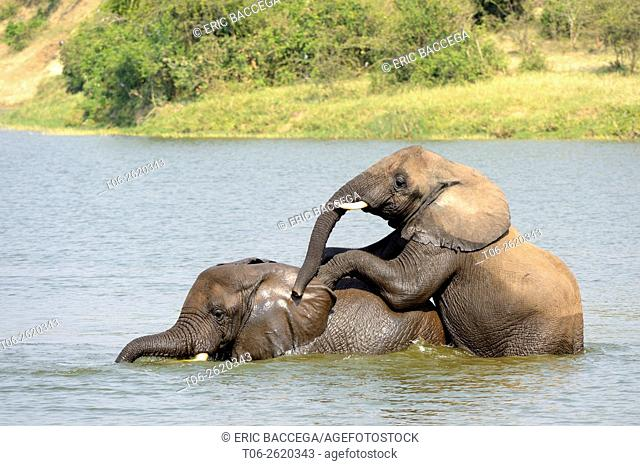 African Elephant (Loxodonta africana) young males bathing and play-fighting, Queen Elizabeth National Park, Uganda, Africa
