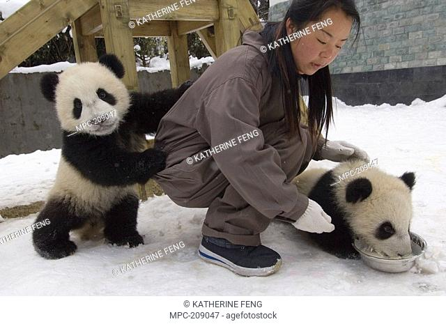 Giant Panda Ailuropoda melanoleuca researcher feeding two cubs, Wolong Nature Reserve, China