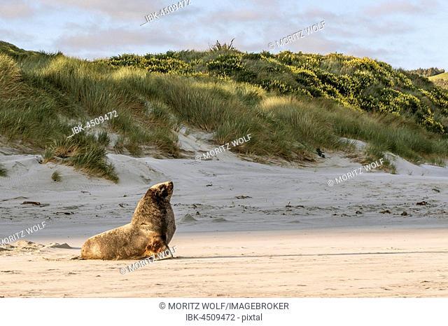 New Zealand sea lion (Phocarctos hookeri), adult male against dunes, Sandfly Bay, Dunedin, Otago, Otago Peninsula, Southland, New Zealand