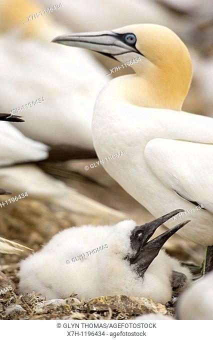 Gannet chick with parent