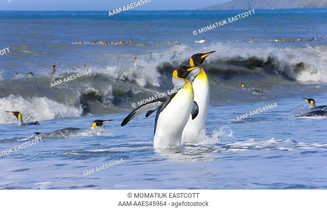 King Penguins (Aptenodytes patagonicus) emerging from sea after washing dirt from their feathers to maintain their insulating qualities, St
