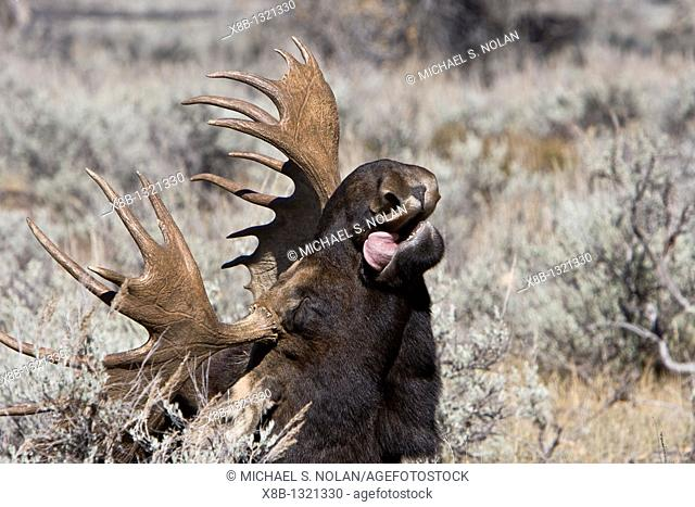 Adult bull moose Alces alces shirasi near the Gros Ventre river just outside of Grand Teton National Park, Wyoming, USA  The moose is actually the largest...