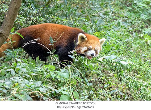 Asia, China, Sichuan, Research Base of Giant Panda Breeding or Chengdu Panda Base, Red Panda (Ailurus fulgens), captive, on the ground