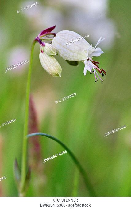 bladder campion, maiden's tears (Silene vulgaris), flower, Denmark, Juetland