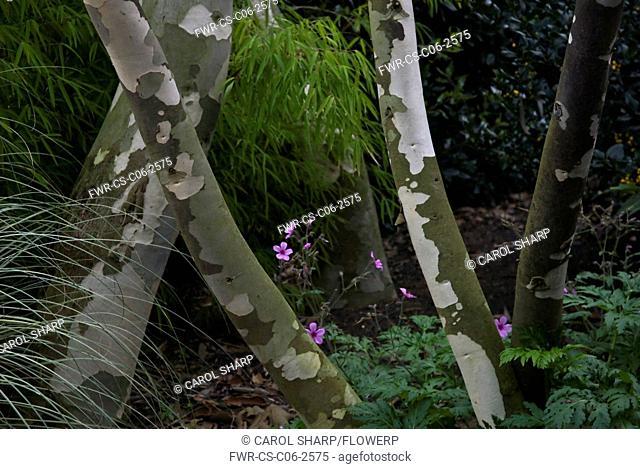 Eucalyptus niphophila, Snow gum