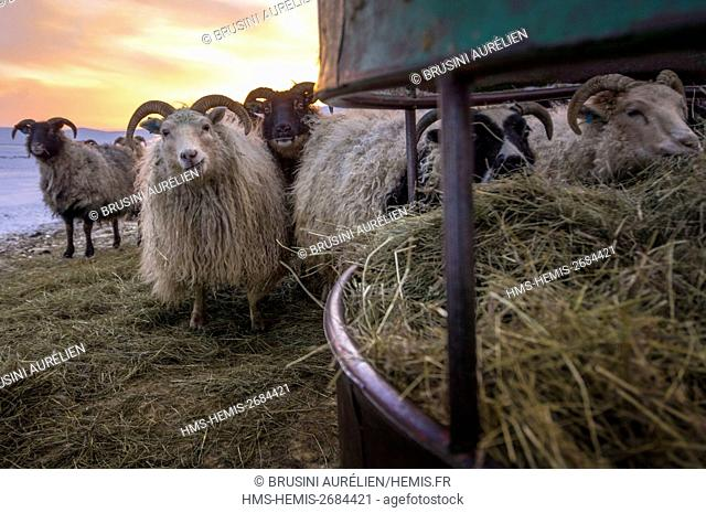 Iceland, Icelandic sheep (Ovis aries) feeding in an isolated farm in the village of Sel, Arctic winter