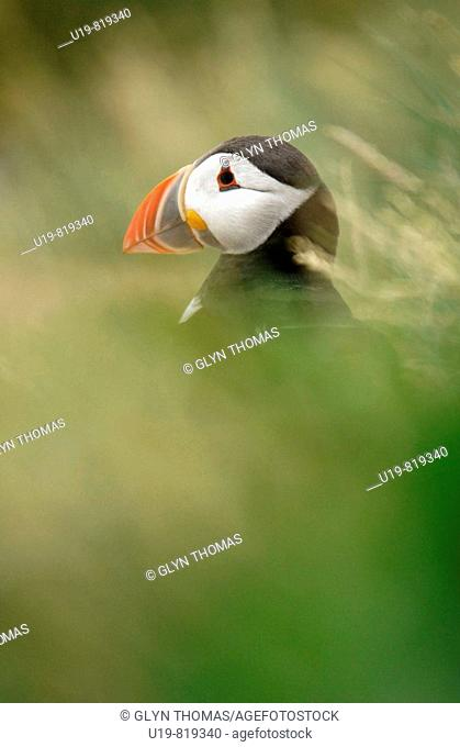 Puffin on the Farne Islands off the coast of Northumberland during breeding season UK