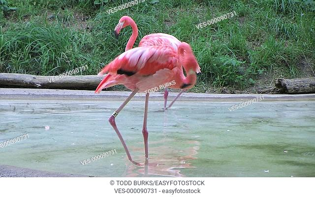 Flamingo uses its long neck for grooming