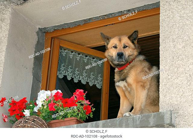 Blooming Petunias and Mixed Breed Dog at open window Haute Savoie France Petunia hybride