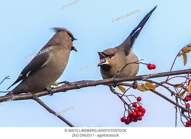 Two Bohemian waxwing arguing in a rowantree, Gällivare, Swedish Lapland, Sweden