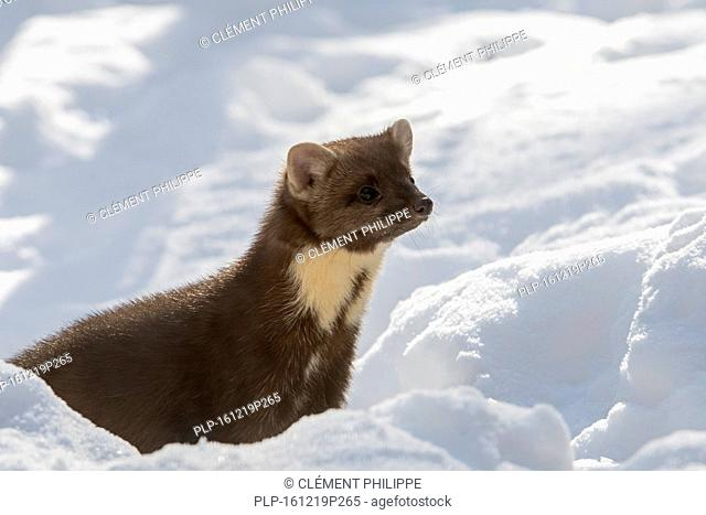 Close up portrait of European pine marten (Martes martes) hunting in the snow in winter