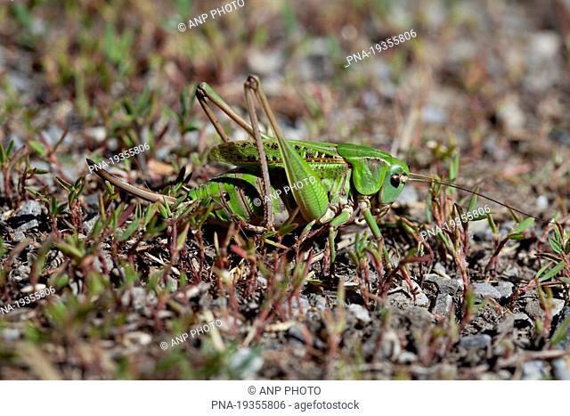 Wart-biter Decticus verrucivorus - Molines-en-Queyras, Alps, Hautes-Alpes, Provence-Alpes-CÖte dıAzur, France, Europe