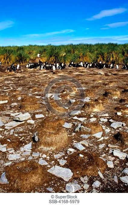 FALKLAND ISLANDS, BLEAKER ISLAND, ROCKHOPPER PENGUIN COLONY, COLONY DIMINISHED BY UNKNOWN CAUSES
