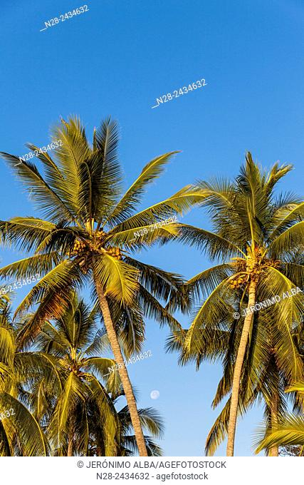 Coconut palm trees. Manzanillo beach. Pacific Ocean. Colima. Mexico