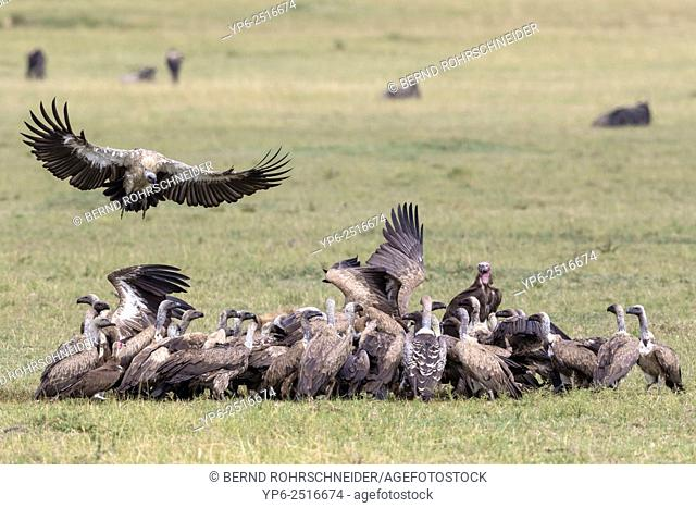 White-backed Vultures (Gyps africanus), Rüppell's Vultures (Gyps rueppellii), Lappet-faced Vulture (Torgos tracheliotus) and Hooded vulture (Necrosyrtes...