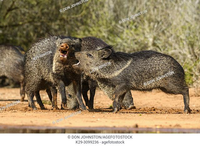 Collared peccary/javelina (Pecari tajacu), Santa Clara Ranch, Starr County, Texas, USA
