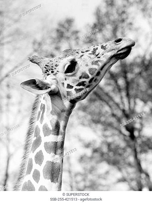 Head of giraffe Giraffa camelopardalis